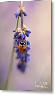 Ladybird And Lavender Metal Print by John Edwards