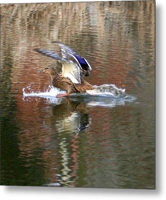 Landing Duck Metal Print by Valia Bradshaw