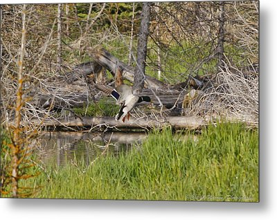 Landing Gear Down Metal Print by Charles Warren