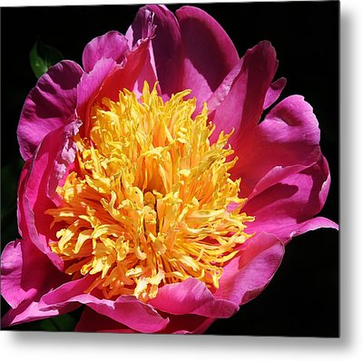 Large Pink Peony Metal Print by Bruce Bley