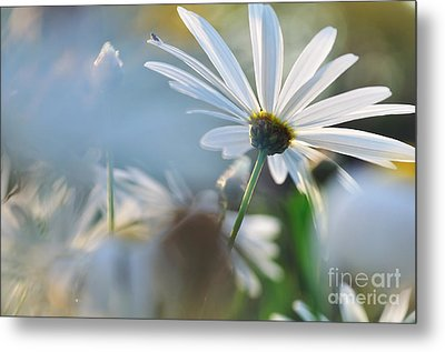 Late Sunshine On Daisies Metal Print by Kaye Menner