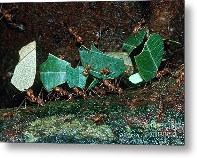 Leafcutter Ants Metal Print by Gregory G. Dimijian