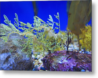 Leafy Seadragon Phycodurus Eques At The Metal Print by Stuart Westmorland