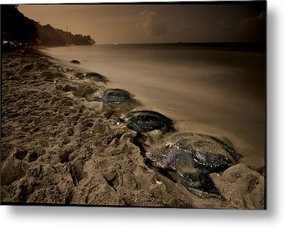 Leatherback Turtles Nesting On Grande Metal Print by Brian J. Skerry
