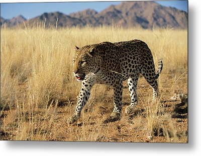 Leopard Panthera Pardus Walking, Africa Metal Print by Winfried Wisniewski