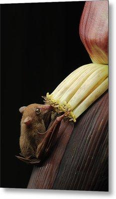 Lesser Long-tongued Fruit Bat Metal Print by Ch'ien Lee