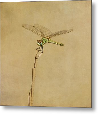 Lime Green Dragonfly Metal Print by Paul Grand Image