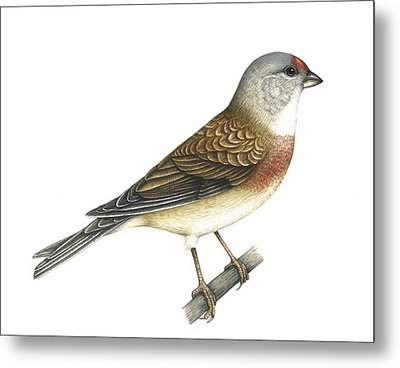 Linnet, Artwork Metal Print by Lizzie Harper