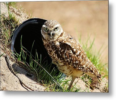 Little Burrowing Owl Metal Print by Paulette Thomas
