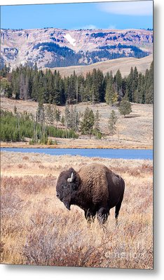 Lone Buffalo Metal Print by Cindy Singleton