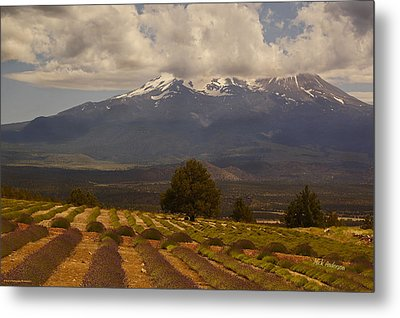Lone Tree And Lavender Fields Metal Print by Mick Anderson