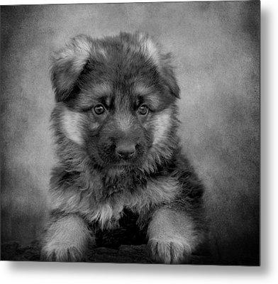 Long Coated Puppy II Metal Print by Sandy Keeton