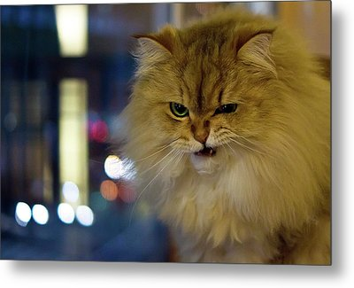 Long-haired Cat Beside Window Metal Print by Benjamin Torode