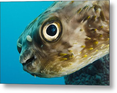 Long-spine Porcupinefish Diodon Metal Print by Pete Oxford