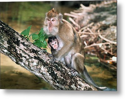 Long-tailed Macaque Mother And Baby Metal Print by Georgette Douwma