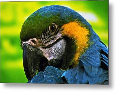 Macaw Metal Print by Cheryl Cencich