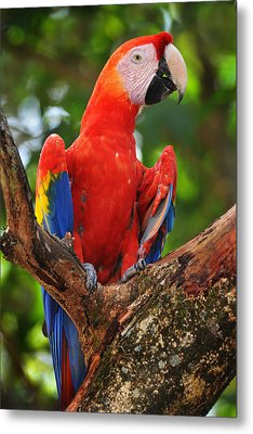 Macaw Of Copan Metal Print by Paul Bratescu