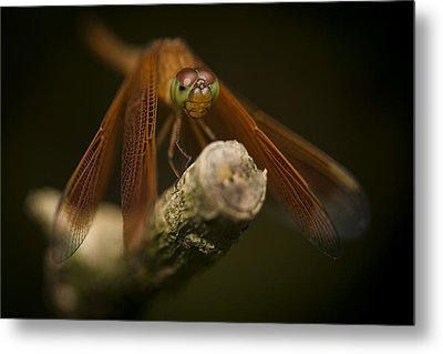 Macro Photograph Of A Dragonfly On A Twig Metal Print by Zoe Ferrie