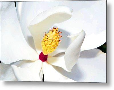 Magnolia Bloom Metal Print by Susan Leggett