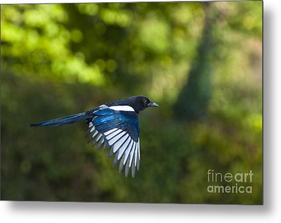 Magpie Metal Print by Andrew  Michael