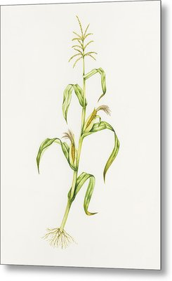 Maize (zea Mays) Metal Print by Lizzie Harper