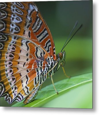 Malay Lacewing Butterfly Metal Print by Zoe Ferrie