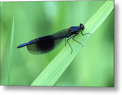 Male Banded Damselfly Metal Print by Dr Keith Wheeler