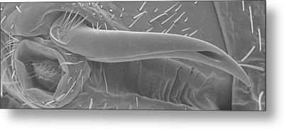 Male Bedbug's Sexual Organ, Sem Metal Print by Power And Syred