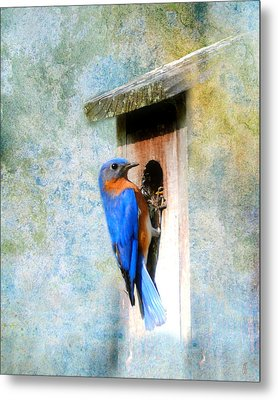 Male Eastern Bluebird At Nesting Box Metal Print by Jai Johnson