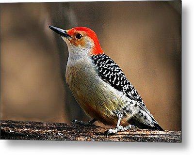 Male Red-bellied Woodpecker 4 Metal Print by Larry Ricker