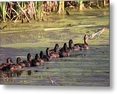 Mallard Ducks In A Row Metal Print by Travis Truelove