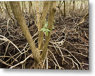 Mangrove Forest With Red Mangrove Metal Print by Tim Laman