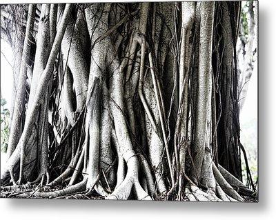 Mangrove Tentacles  Metal Print by Douglas Barnard
