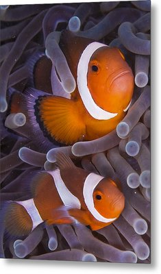 Maroon Clown Fish (premnas Biaculeatus) Amongst Sea Anemone Tentacles, Dumaguete, Negros Island, Philippines Metal Print by Oxford Scientific