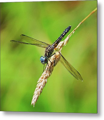 Metal Print featuring the photograph Meadowhawk by Rodney Campbell