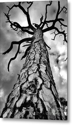 Medusa Pine Metal Print by Lynda Dawson-Youngclaus