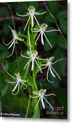 Michaux Orchid Metal Print by Barbara Bowen