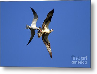 Mid-air Attack Metal Print by Mike  Dawson