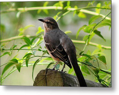 Mocking Bird Picture 3 Metal Print by Ester  Rogers