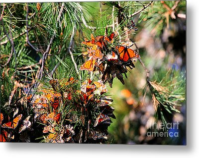 Monarch Butterfly Gathering Metal Print by Tap  On Photo