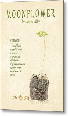 Moonflower Vine Seedling  Metal Print by Anne Kitzman