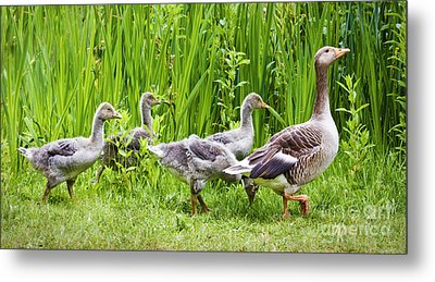 Mother Goose Leading Goslings Metal Print by Simon Bratt Photography LRPS