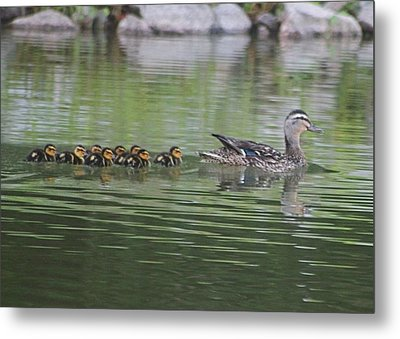 Mother Mallard And Ducklings Metal Print by Jeanne Kay Juhos