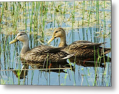 Mottled Duck Pair Metal Print by Lynda Dawson-Youngclaus
