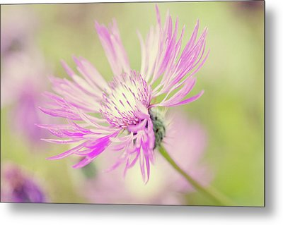 Mountain Cornflower Pink Metal Print by Leentje photography by Helaine Weide