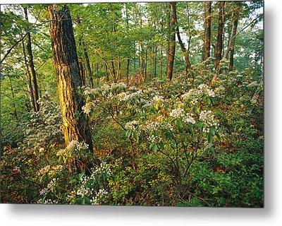 Mountain Laurel Blooming In A Hyner Metal Print by Skip Brown