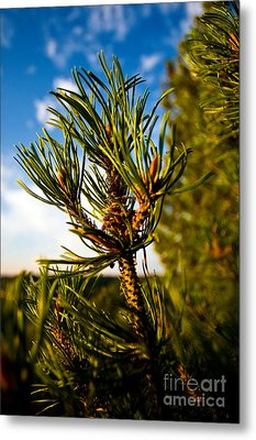 Mugo Pine Branch Metal Print by Terry Elniski