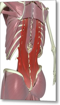 Muscles Of The Back Metal Print by MedicalRF.com