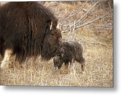Musk Ox Cow And New Calf Metal Print by Joseph Rychetnik