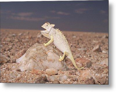Namaqua Chameleon Chamaeleo Namaquensis Metal Print by Michael & Patricia Fogden